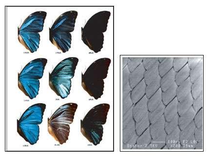 Les écailles des papillons sont à l'origine du procédé de réalisation des écrans plats iMoD. © Iridescence, les couleurs physiques des insectes de Serge Berthier, Springer France, Paris, 2003/Joseph Le Lannic – CMEBA – Université Rennes 1