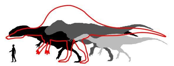 Taille comparée du plus gros Spinosaurus découvert dans les Kem Kem, en rouge (taille estimée), par rapport aux tailles des plus gros Giganotosaurus (noir), Tyrannosaurus (gris foncé) et Suchomimus (gris clair) connus, et d'un humain. © Modifié d'après Dal Sasso et al. (2005)