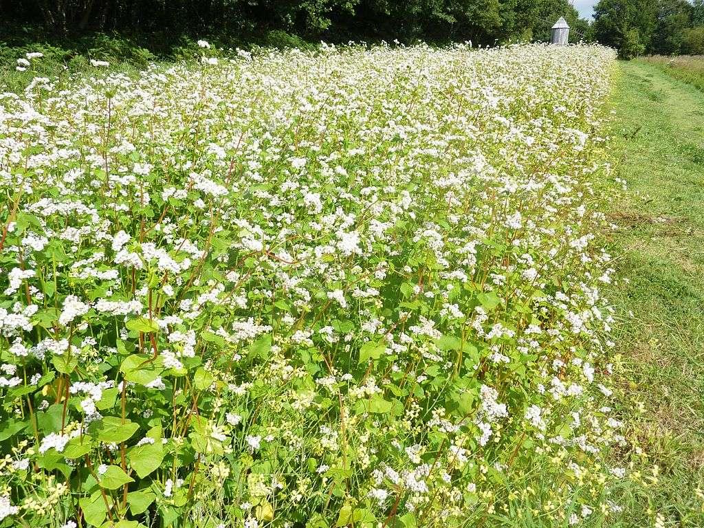 Un champ de sarrasin, une plante qui peut être utilisée comme engrais vert. © Moreau Henri, CC by-sa 3.0