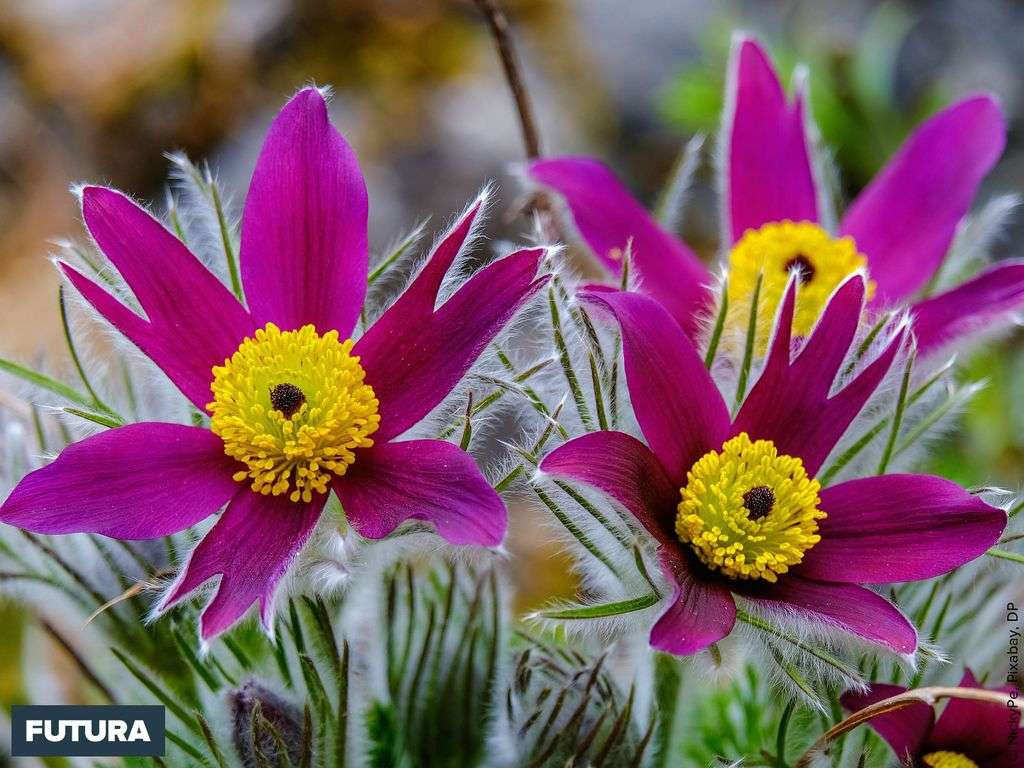 L'anémone pulsatille (Pulsatilla vulgaris) est une plante vivace très rustique