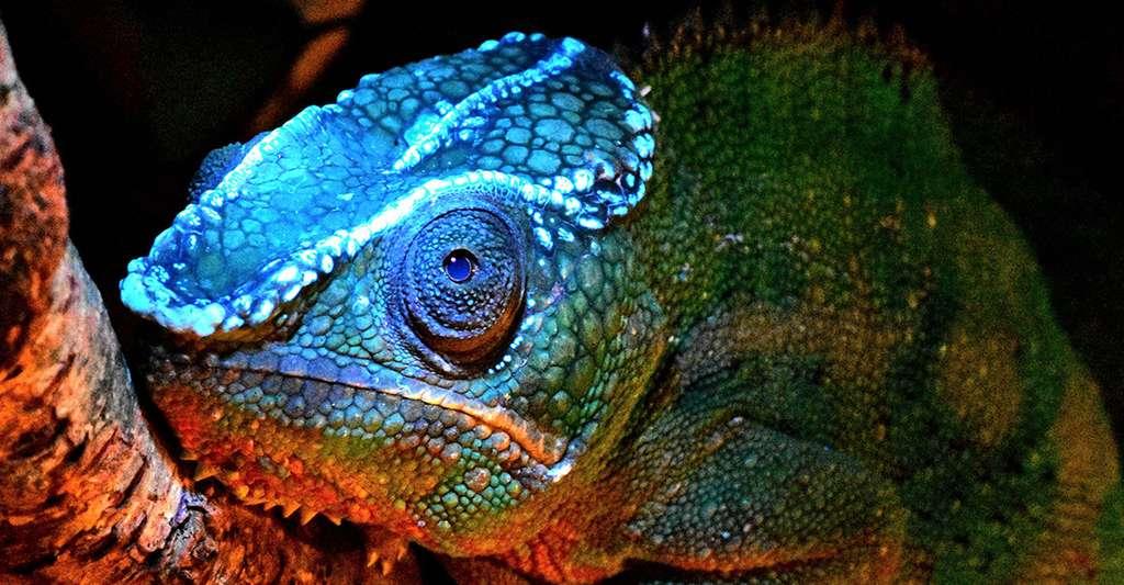Sous éclairage ultraviolet (UV), le caméléon panthère (Furcifer pardalis) présente comme une crête fluorescente sur la tête. © David Prötzel, ZSM, LMU
