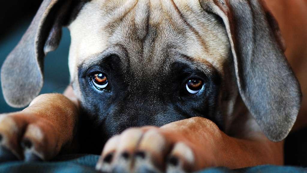 Le regard des chiens