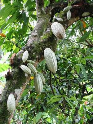 Le cacaoyer donne les fèves de cacao. © Conacado Co-operative, The Fairtrade Foundation