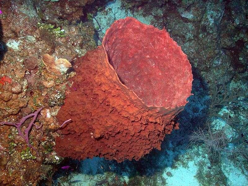 Des échantillons d'eau de mer d'une espèce d'éponges (Xestospongia muta, à l'image) permettront d'étudier sa filtration, son alimentation ainsi que la quantité d'énergie absorbée et relâchée dans le milieu. Il s'agit aussi de tester un moyen non invasif pour visualiser le taux réel de mue de l'organisme, vieux de deux millénaires, sans lui nuire. © NOAA Photo Library, Flickr, cc by 2.0