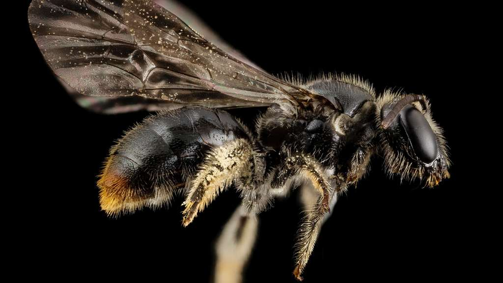 Une abeille Manuelia postica, du Chili