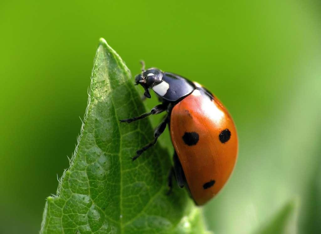 La larve de coccinelle mange les frères et sœurs pour se fortifier. © Marek Kosmal, Adobe Stock