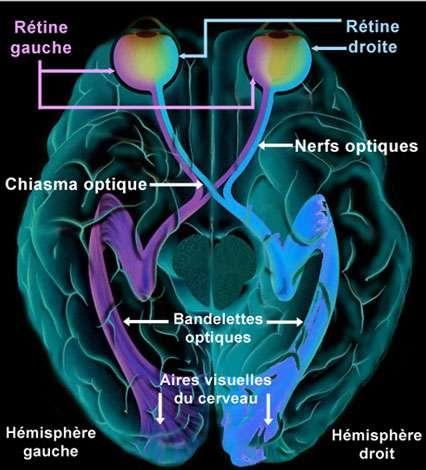 Nerf optique, schéma de son parcours. © Reproduction et utilisation interdites