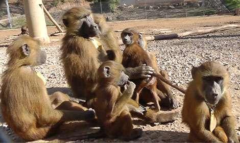 Quelques-uns des babouins observés durant cette étude, à la Station de primatologie du CNRS à Rousset-sur-Arc, où les animaux vivent en semi-liberté. © Caralyn Kemp et Julie Gullstrand, Laboratoire de psychologie cognitive (CNRS, AMU).