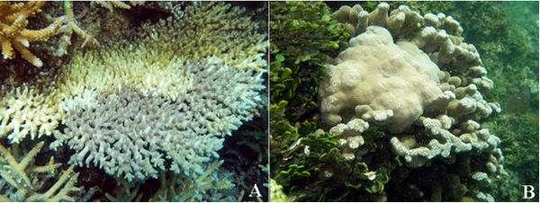 Principales maladies coralliennes dans le lagon calédonien. A : « white syndrome » d'Acropora. B : Croissance anormale de Porites. © A. Tribollet, IRD