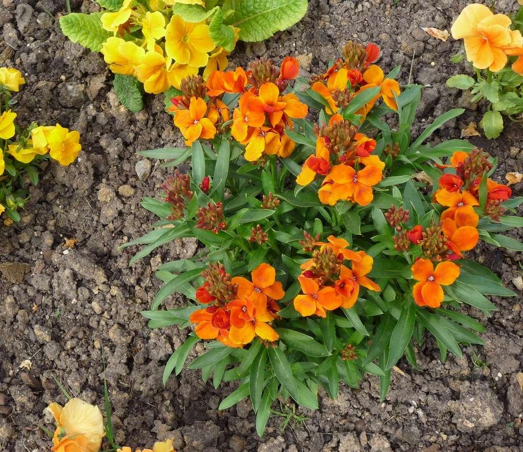 Massif en camaïeu fleuri de giroflées orange, pensées et primevères jaunes. © S.Chaillot
