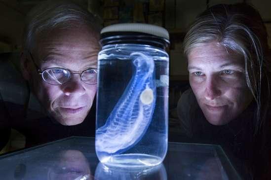 Les deux chercheurs, Larry Madin et Kelly Rakow Sutherland, admirent une salpe. © Tom Kleindinst / WHOI