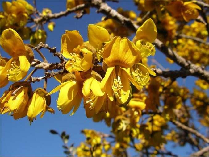 Le Petit Tamarin des Hauts (Sophora denudata), caractéristique des sophoraies, un des milieux forestiers typiques de la Réunion. © Garnier/ONF