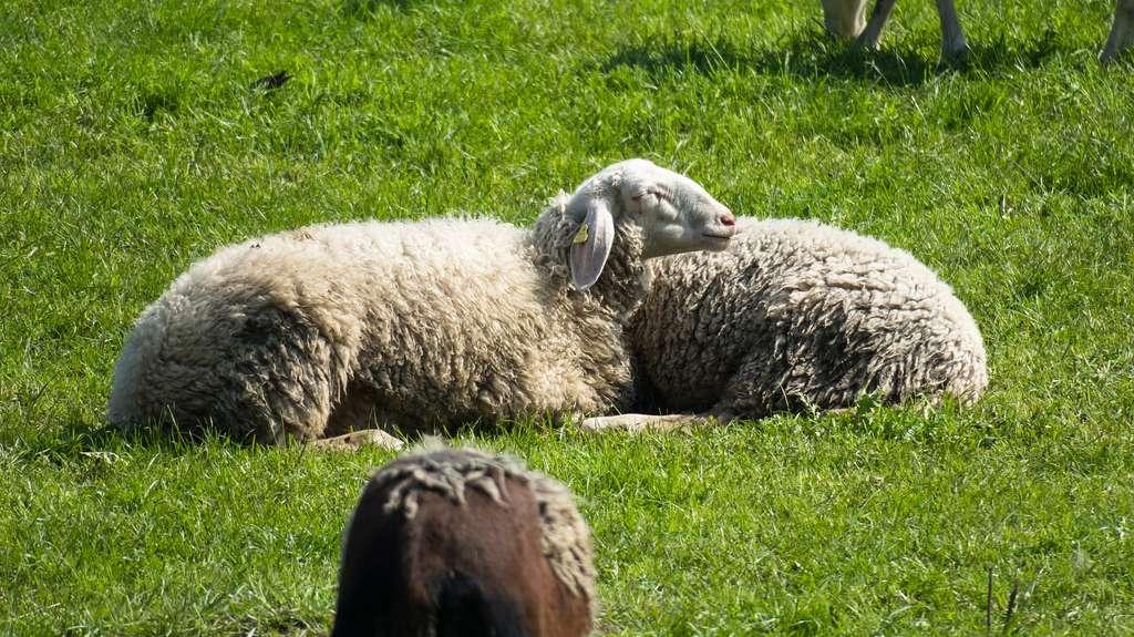 Sous l'influence d'un haut dosage de kétamine, l'activité cérébrale des moutons s'interrompt complètement. © Didgeman, Pixabay