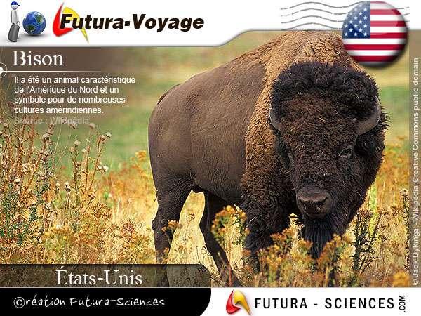 Le bison un symbole aux Etats-Unis