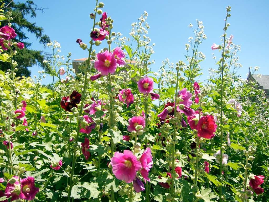 La rose trémière (Alcea rosea). © Shihmei Barger, Flickr