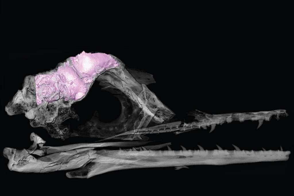 Un modèle 3D transparent du crâne et du cerveau d'oiseau fossile (en rose). © Christopher Torres, Université du Texas, Austin (Etats-Unis)