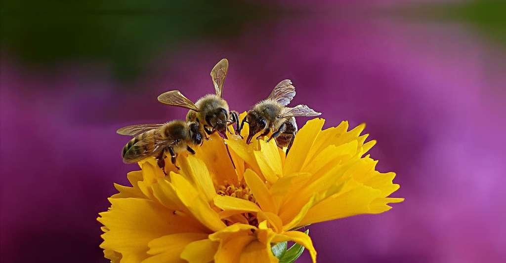 Protégeons les abeilles. © Oldiefan - Domaine public