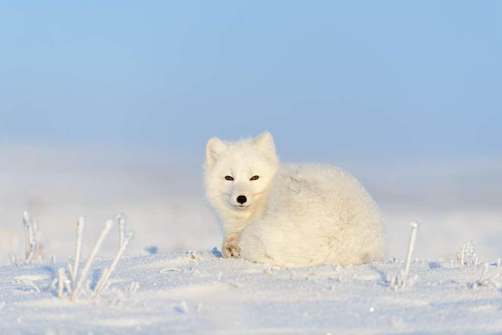 Le renard polaire a de petites oreilles par rapport à la taille de son corps, afin de limiter les pertes de chaleur. © Alexey Seafarer, Adobe Stock