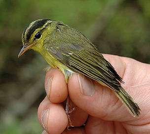 Phylloscopus calciatilis, le seul oiseau, parmi les 208 nouvelles espèces, découvert en 2010 dans la région du Mékong. © Ulf Johansson, Swedish Museum of Natural History