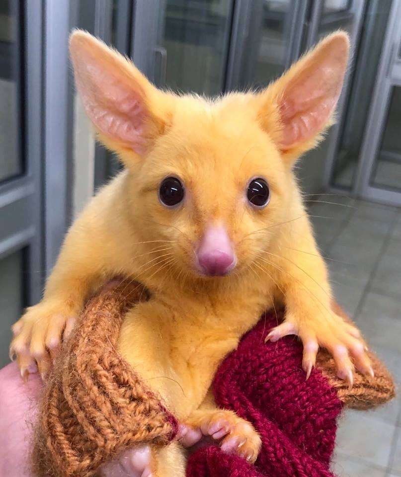Le bébé opossum australien doit sa couleur jaune à l'absence de mélanine. © Boronia Veterinary Clinic And Animal Hospital, Facebook