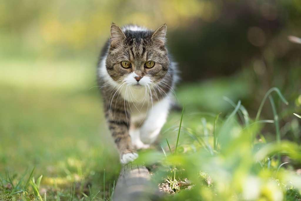 Le chat est un parfait équilibriste. © FurryFritz, Adobe Stock