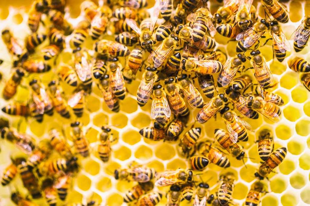 En se nourrissant de pollen contaminé par la bactérie, la reine va engendrer des larves naturellement immunisées. © Thomas Hawk, Flickr