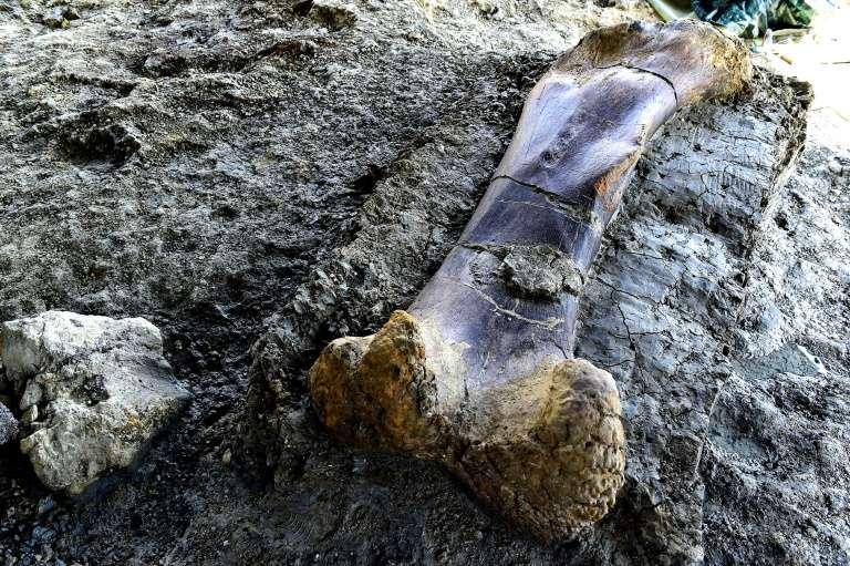 Le fémur d'un sauropode vieux de 140 millions d'années, découvert sur le site d'Angeac-Charente, le 24 juillet 2019. © Georges Gobet, AFP