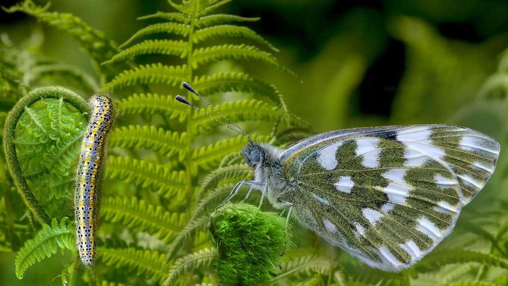 Le Marbré de Fabricus et ses belles nuances de vert