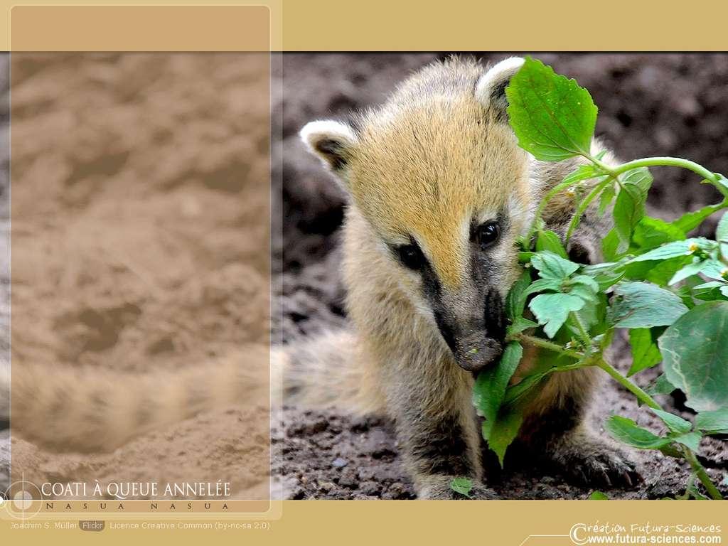 Coati à queue annelée
