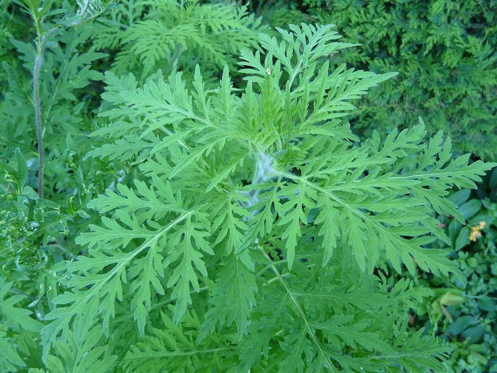 L'ambroisie à feuille d'armoise est une plante particulièrement allergisante. © Père Igor, Wikipédia, CC by-sa 3.0