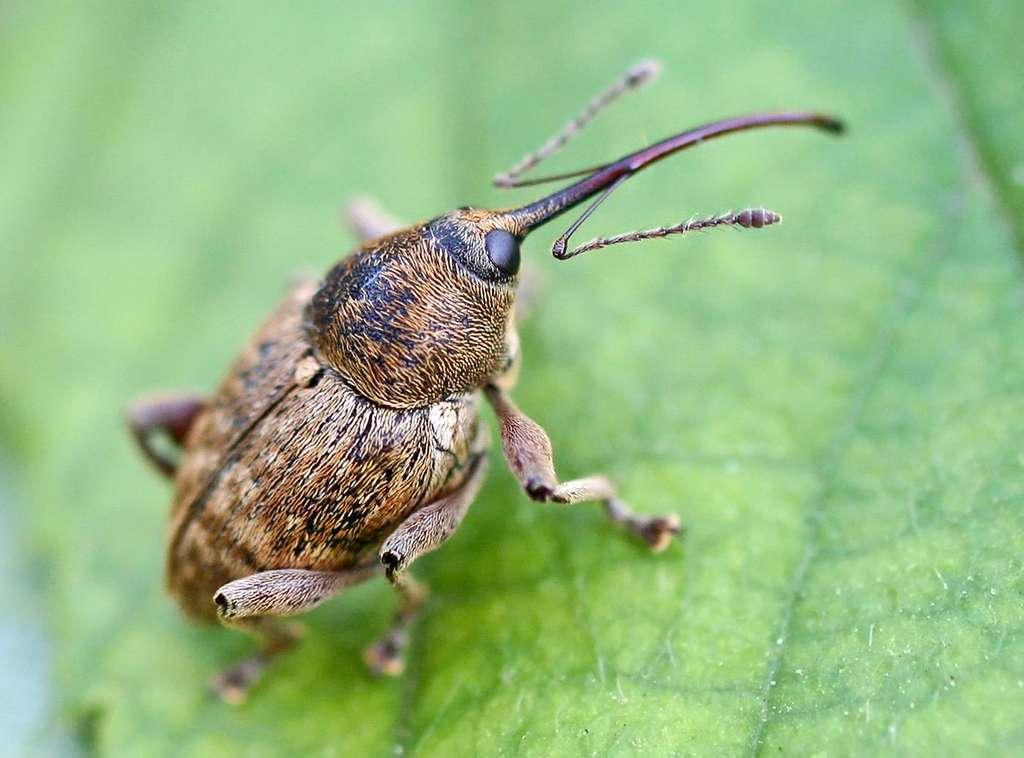Balanin des noisettes (Curculio nucum). © Entomart, Wikimedia Commons, DR
