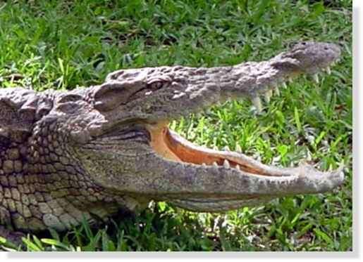 Gueule ouverte du crocodile du Nil © Photo Philippe Mespoulhé Reproduction interdite