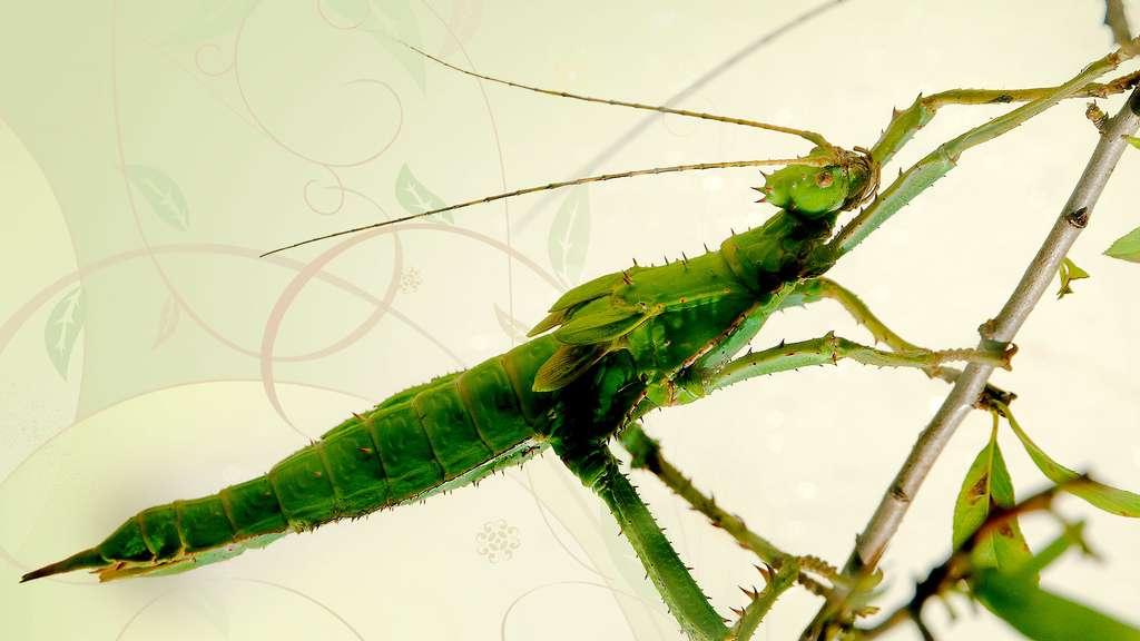 L'un des plus grands phasmes au monde, Heteropteryx dilatata