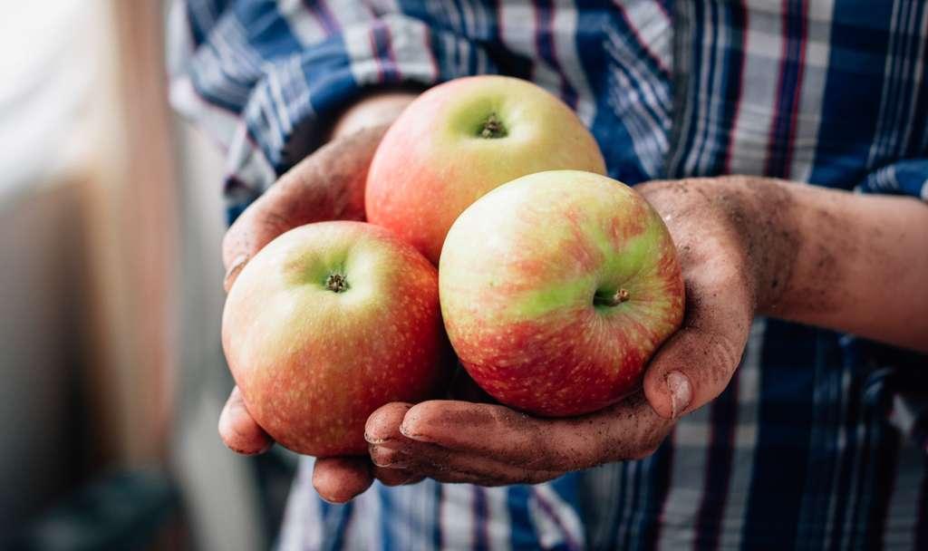 Cueillette : cueillir les fruits du verger. © sharafmaksumov, Fotolia