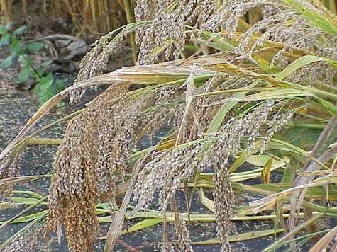 Le millet désigne un groupe de céréales, dont fait partie Panicum miliaceum. © Kurt Stueber - GNU Free Documentation License version 1.2