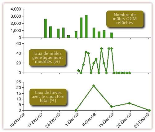 Résultats des recensements de mâles génétiquement modifiés et des larves portant le caractère létal, suite aux différents lâchers. © Harris et al. 2011, Nature Biotechnology - adaptation Futura-Sciences