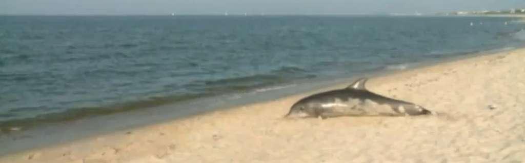 En l'espace d'un mois, l'État de Virginie a découvert 45 grands dauphins échoués. La cause n'étant toujours pas déterminée, il est probable que ce chiffre continue de grimper. © Capture d'écran, cebese, YouTube