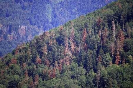 Les arbres sont sensibles à la pollution. Ici, la forêt vosgienne souffrant de sécheresse. Été 2019. © Frederick Florin, AFP