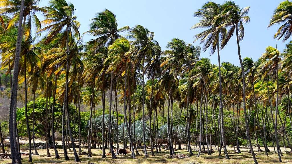 Cocoteraie sur l'île de Bequia. © Antoine, tous droits réservés, reproduction interdite