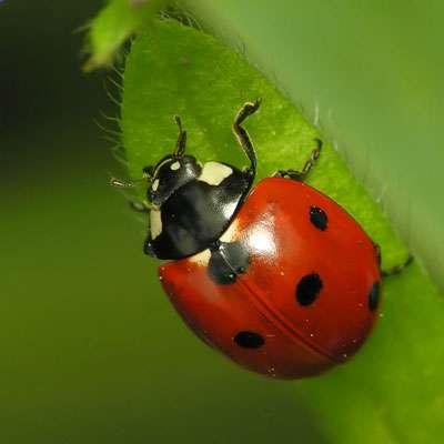 La coccinelle, un insecte bien utile. © Reytan, licence de documentation libre GNU, version 1.2