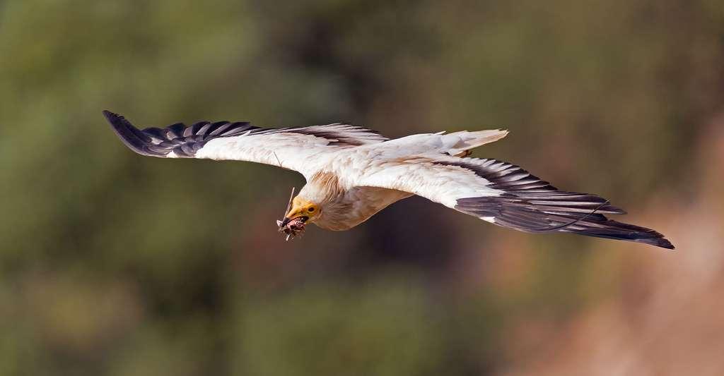 Un percnoptère apportant de la nourriture au nid. © Artemy Voikhansky, Wikimedia commons, CC by-sa 4.0