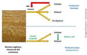 Cliquer pour agrandir. Synthèse simplifiée de bioéthanol à partir de déchets agricoles, à l'aide de la levure Saccharomyces cerevisiae conventionnelle (en haut) et après sa modification génétique (en bas). Lors d'une fermentation classique, la production d'acétate inhibe la réaction et une partie de sucres est transformée en glycérol. Avec la levure modifiée, l'acétate est transformé en éthanol et il n'y a pas de production de glycérol. © G. Macqueron/Futura-Sciences