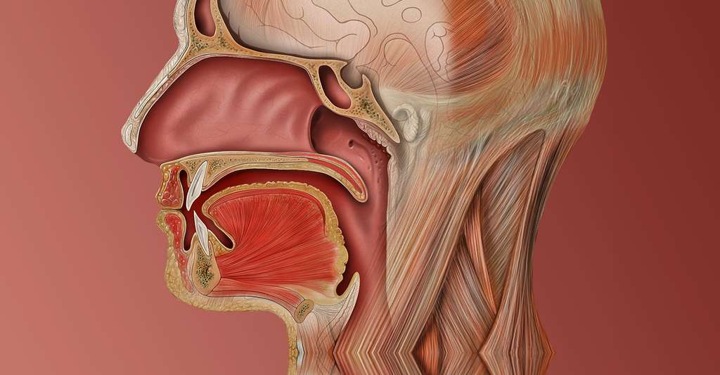 Profil de la cavité buccodentaire. © Patrick J. Lynch, medical illustrator - CC by 2.5