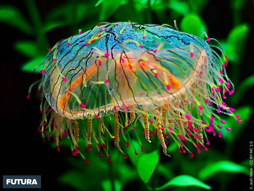 Méduse - Olindias formosa