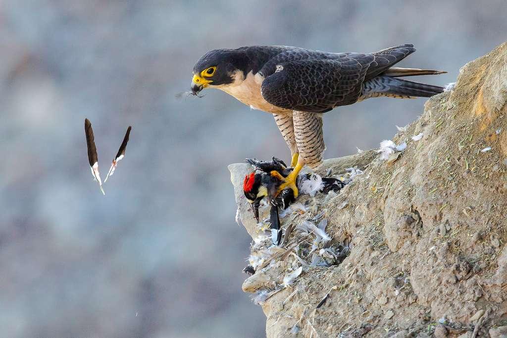 Faucon pèlerin. © Tom Ingram, Audubon Photography Awards 2021