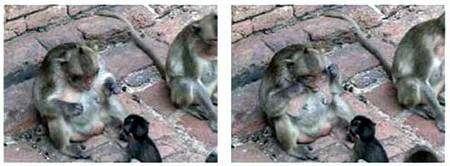 Macaque s'appliquant à enseigner son art à un juvénile. Crédit Université de Kyoto