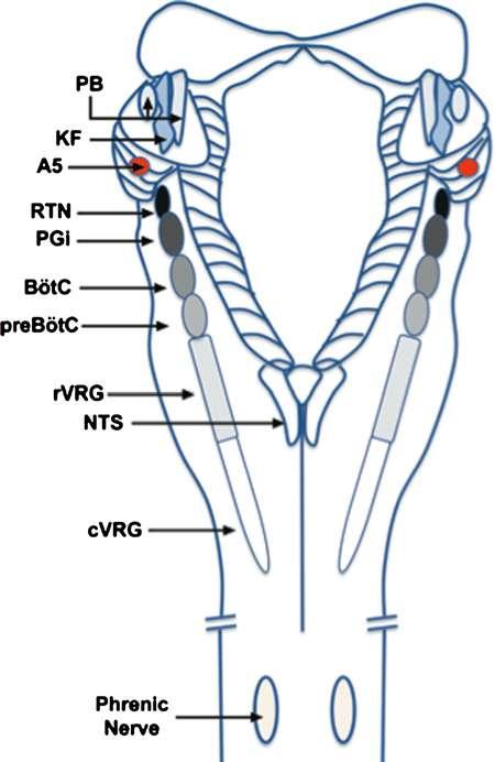 Vue dorsale du tronc cérébral sur laquelle les noyaux responsables de la respiration sont indiqués. Le noyau rétro-trapézoïde est indiqué par les lettres RTN sur la partie gauche du schéma. © Creative Commons, Attribution 4.0 International