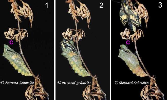Émergence du papillon Machaon : une minute s'est écoulée entre les photos 1 et 3. © Bernard Schmeltz
