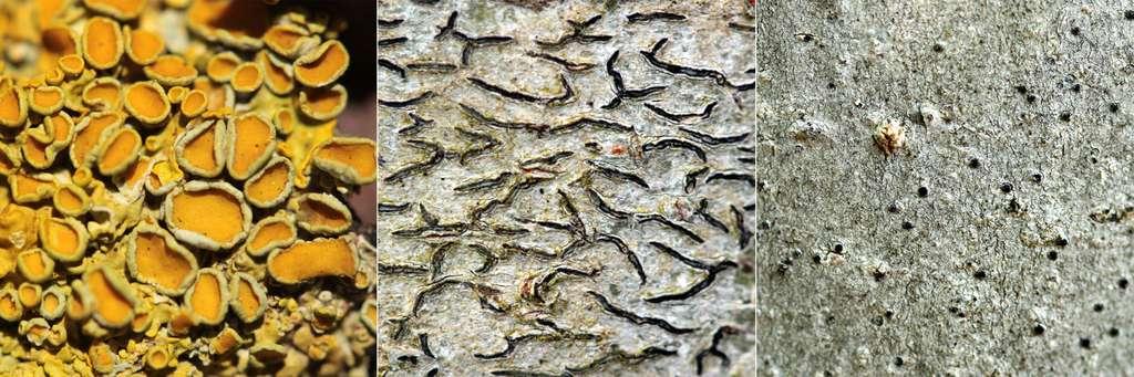 Structures de reproduction sexuée chez les lichens : apothécies (à gauche), lirelles (au centre) et périthèces (à droite). © Yannick Agnan - Tous droits réservés