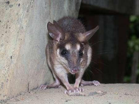 L'opossum coureur et terrestre Metachirus nudicaudatus, fréquent certaines années autour du camp des Nouragues. Noter l'encoche à l'oreille droite, qui correspond au marquage individuel (le petit morceau d'oreille découpé a été préservé pour les études de génétique moléculaire) © François Catzeflis - Tous droits réservés.